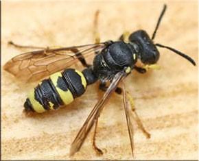 Опасен ли укус осы? Влияние укуса осы на организм, вредные факторы, первая помощь.