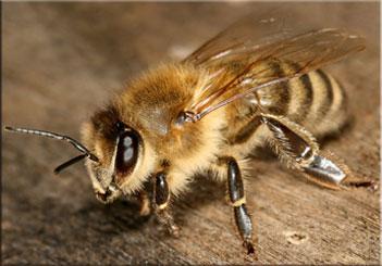 Если укусила оса. Первая помощь при укусе осы, пчелы, шмеля или шершня{amp}#xA;